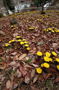 『H24フラワーパーク・風土記の丘部門入選春を待って咲く小林豊帆』の画像