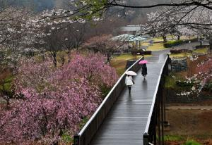 『H25フラワーパーク部門入選「春雨降る日」』の画像