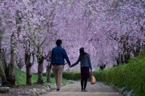 『入選 『恋桜』 小林功』の画像