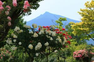 『入選 『春薔薇と筑波山』 竹内治』の画像