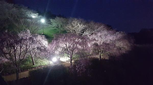 『ライトアップさくら』の画像