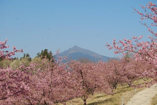 『茨城県フラワーパーク河津桜01』の画像