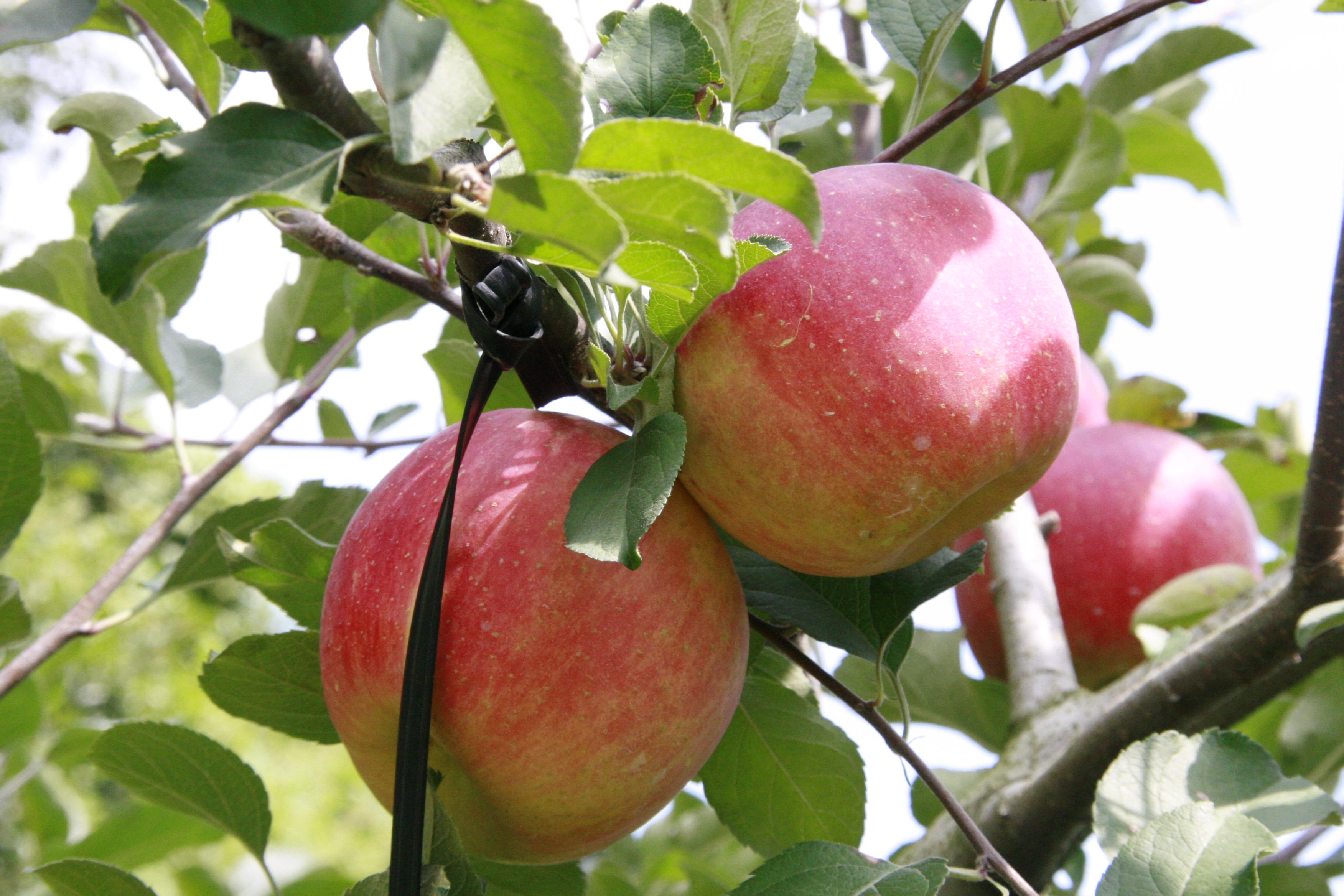 『りんご(3)』の画像