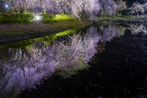 『『『2019会長賞_枝垂れ桜のリフレクション』の画像』の画像』の画像