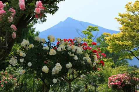 春薔薇と筑波山